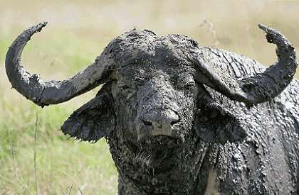 This image has an empty alt Cape buffalo have stirred the blood of African hunters for millenia, and with good reason. Your guess: Is he bluffing?attribute; its file name is buffalo_420B.jpg