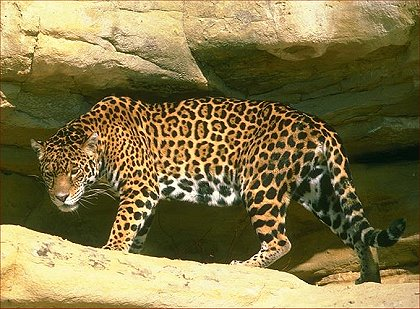 Nice Jaguars Roam Throughout Mexico And Central And South America, And Are  Increasingly Seen In Texas, New Mexico, And Arizona.