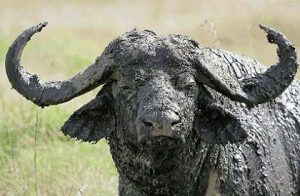 Cape buffalo have stirred the blood of African hunters for millenia, and with good reason. Your guess: Is he bluffing?